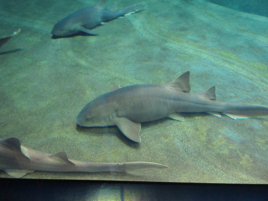 アクアワールド茨城県大洗水族館のおとなしいサメの画像