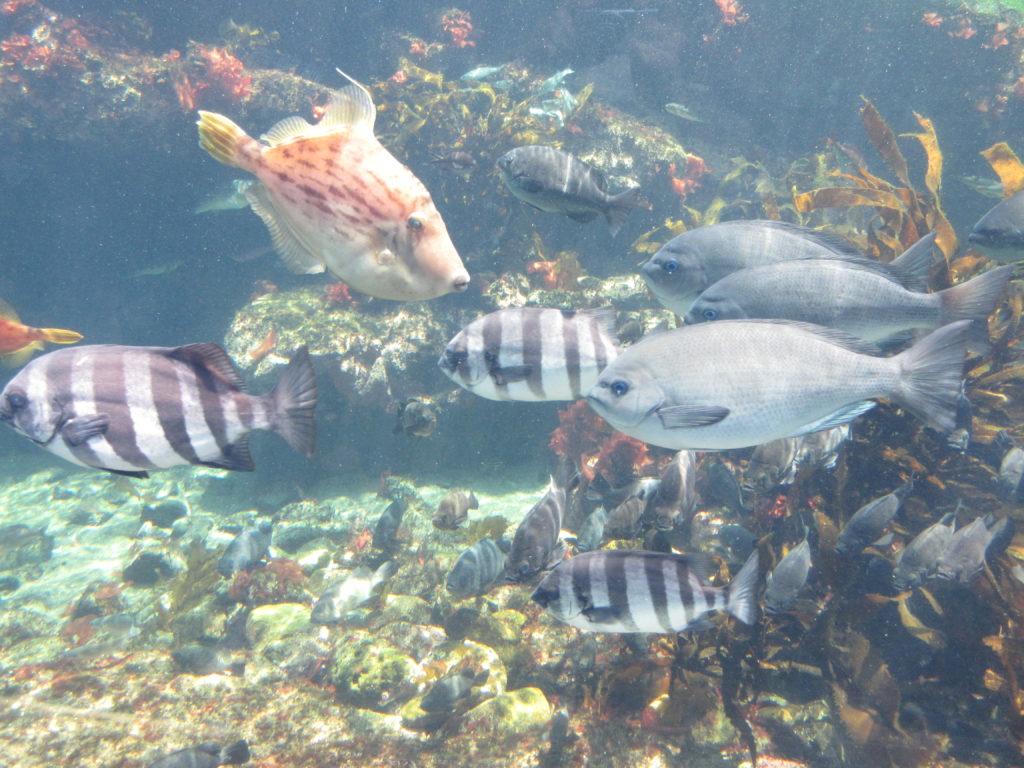アクアワールド茨城県大洗水族館の魚の群れの画像