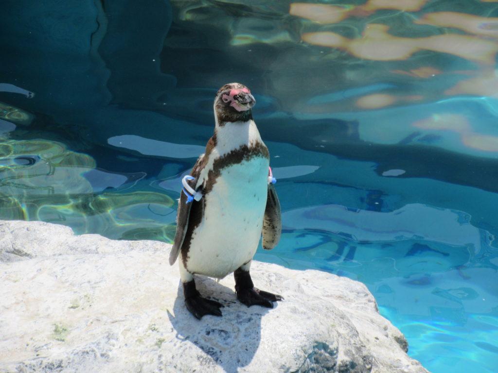 アクアワールド茨城県大洗水族館のペンギンの画像