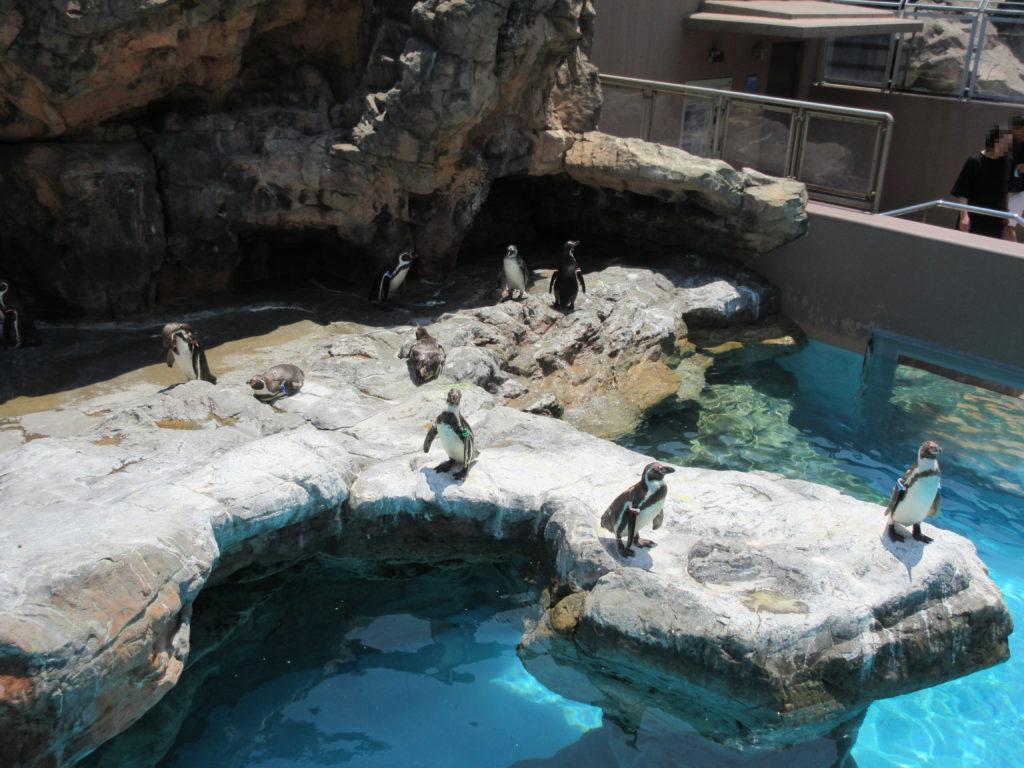 アクアワールド茨城県大洗水族館の複数のペンギンの画像
