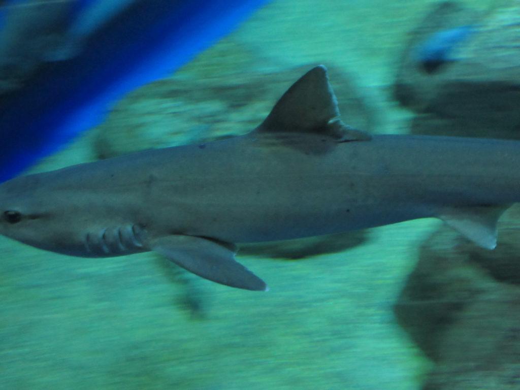 アクアワールド茨城県大洗水族館のサメの画像